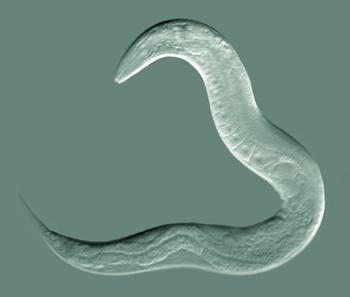 C elegans GoldsteinLabUNC