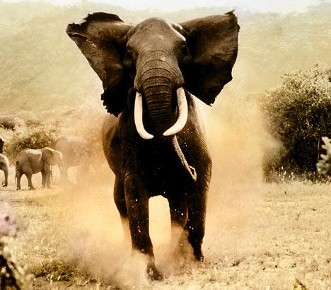 elephantdm1406_468x410